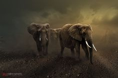 Elephants Photograph Lets Go Home Bro.. by Errys Wiskan on 500px