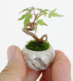 Is your tiny studio apartment too tiny even for a bonsai tree? These are easily small enough. Apparently there's an ultra-small bonsai trend sweeping the home decor world. See more bonsai trees at www. Mini Bonsai, Bonsai Indoor, Bonsai Plants, Bonsai Garden, Air Plants, Garden Plants, Indoor Plants, Bonsai Trees, Indoor Garden