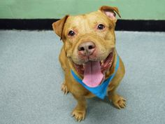 BIG ROB - A1095915 - - Manhattan  Please Share:TO BE DESTROYED 11/13/16 **ON PUBLIC LIST** -  Click for info & Current Status: http://nycdogs.urgentpodr.org/big-rob-a1095915/