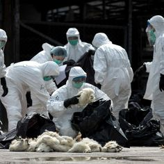 China Has Withheld Samples of a Dangerous Flu Virus - The New York Times Los Influenza Virus, New York Times, Bird Flu Virus, China, Lisa Haven, Gum Disease Treatment, Swine Flu, Medical News, Farmhouse