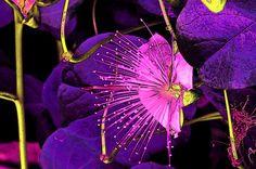 'Kapernblüte-Variation6' von lisa-glueck bei artflakes.com als Poster oder Kunstdruck $18.03