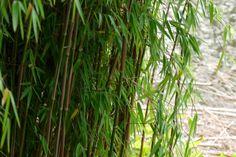 Fargesia nitida - 60/80 cm (fijnbladige bamboe, niet woekerende bamboe)
