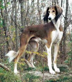 The Saluki, perfect for running (lots and lots of running) and couch cuddling.