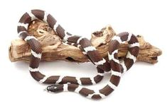 California kingsnakes are excellent snakes for first time reptilekeepers.