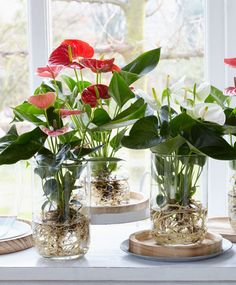 Smart Ways To Grow Hydroponic Plants For Beginners At Home Impressive Indoor Water Garden Ideas For Best Indoor Garden Solution – DEC… DIY tips: een anthurium op water Bare-rooted Anthurium growing in water. Anthurium culture on water - Bakker Plants Grown In Water, Water Plants Indoor, Aquatic Plants, Plant In Water, Indoor Flowers, Flowers In Water, Indoor Window Plants, Water Garden Plants, Indoor Flowering Plants