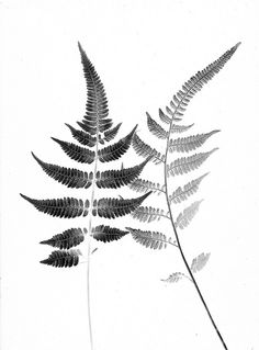 botanical ferns