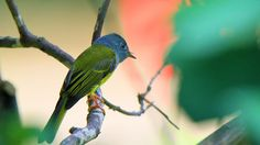Grey headed canary flycatcher by Khoi Tran Duc #xemtvhay