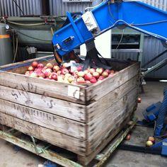 Apples being sorted fresh from the orchard #staplesapples #mainridge #morningtonpeninsula #winefoodfarmgate