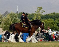 cops on clydesdale, a scottish draft horse breed