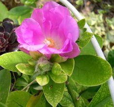 Pereskia-rotundifolia.jpg (765×716)