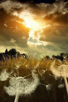 Dandelions - I LOVE THIS