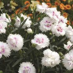 White Everlast Series Dianthus The longest-blooming Dianthus to date. Plants bloom in early spring and stay in bloom well into the summer, then rebloom again when the night temperatures begin to drop in late summer. The fragrant single, semi-double and double blooms attract hummingbirds and butterflies galore. Narrow, grey-green foliage stays attractive all season. Low mounds grow 8 to 12 inches tall and up to 14 inches wide 1 FOR $5.95 3 FOR $15.95 6 FOR $29.95