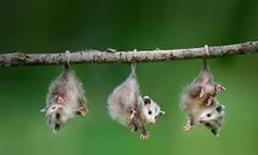 Baby opposums