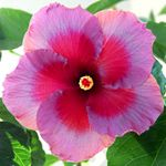 Tropical Hibiscus 'Vin Beaujolais'