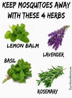 herbs that keep mosquitoes away