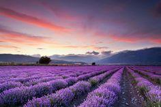 Campo de lavanda, Provence