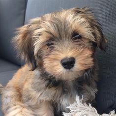 Max! The mini schnauzer/ shih tzu mix!! Love dogs