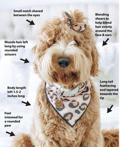 Teddy Bear Goldendoodle, Goldendoodle Haircuts, Goldendoodle Grooming, Dog Haircuts, Full Grown Mini Goldendoodle, Goldendoodle Training, Goldendoodle Names, Teddy Bear Doodle, Teddy Bear Dog