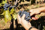 2012 grape harvest in western Colorado.