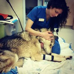 Mikey's rescue. 80% of wolfdogs bred are euthanized by the age of 3 years. Wolf Connection nurses abused and abandoned wolfdogs back to health and provides sanctuary with a wolf pack, daily exercise, mental stimulation and health care. www.wolfconnection.org