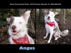 ANGUS  - DEAF BORDER COLLIE FOR ADOPTION AT BORDER COLLIE RESCUE OF MINNESOTA