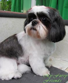 shih tzu haircuts | ... Grooming: The Good, The Bad, & The Furry: Scissoring a Shih-Tzu Head