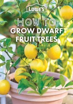 Grow your own fruit, no matter where you live, using dwarf varieties and these easy growing tips.
