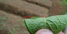 Câte tratamente pot fi necesare pentru păduchele verde al piersicului | Paradis Verde