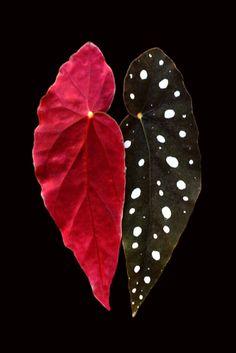My Begonias Have Angel Wings ~~ Houston Foodlovers Book Club
