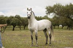 Andalusian Stallion   ... horse gray horse spanish horse andalusian pura raza española