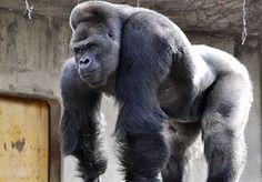 26-Jun-2015 11:35 - JAPANSE VROUWEN VALLEN IN ZWIJM VOOR DEZE FORSE KNAAP. In de zoo van het Japanse Higashiyama loopt het storm voor Shabani. Vooral vrouwen vallen voor de stoere charmes van de gorilla, die zich stilaan…...