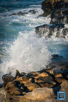 Sea Lions-Toby Gant