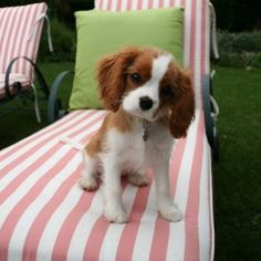 Cavalier king charles. these are the cutest small dogs on the planet. If only they weren't so expensive...