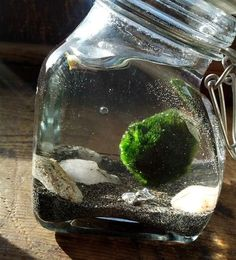 Marimo moss ball water terrarium DIY- Very little care required and they can live a very long time. They are said to bring good luck. 5orangepotatoes