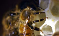 Honey bee - extreme closeup she is hanging on comb cell edges. She has her antennae inside the comb cell with a newly laid egg in the cell. Bees can detect temperatures using their antennae. amazing!
