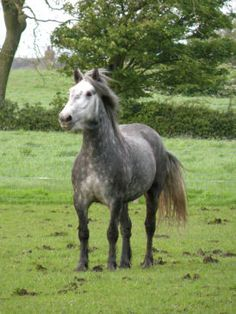 Grey Highland Pony Stallion Pony Breeds, Horse Breeds, Highland Pony, Mini Horses, Just Magic, Miniature Horses, Good Bones, Clydesdale, Gentle Giant