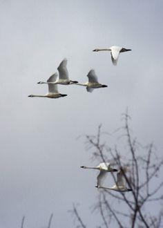 walking-geema:just now~swans flying overhead