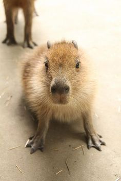 Capybara feetz! Mmmmmm!!!