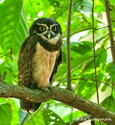 """""""Just.....don't ask...""""  Spectacled Owl"""