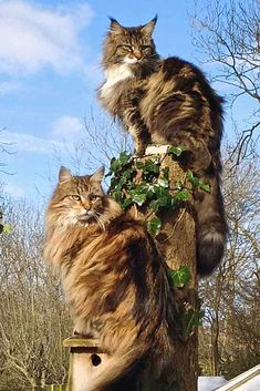 Two beautiful Maine Coon Cats out in the garden. Pretty Cats, Beautiful Cats, Animals Beautiful, Cute Animals, Cute Cats And Kittens, Cool Cats, Kittens Cutest, Funny Kittens, White Kittens