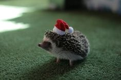 @Danielle W. Here is a hedgehog in a tiny hat. It's no baby chick in a top hat, but it's kind of adorable, no?