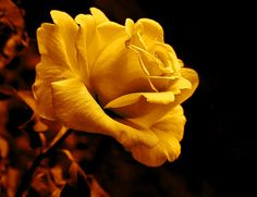 Golden yellow macro Rose flower art design for your home or office decor.   Photography art by Jennie Marie Schell.