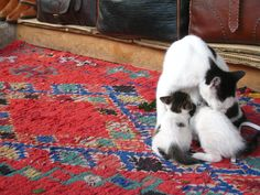 Mother and kittens - Fes Medina