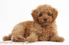 Dog: Cute red Toy Poodle puppy photo