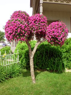 Fuschia Million Bells Petunia Tree