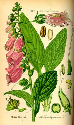 Google Image Result for http://2.bp.blogspot.com/_VChlnV7tA7o/TBKLxIDdkGI/AAAAAAAAA8Y/_Kje-Rh3pYo/s1600/Illustration_Digitalis_purpurea0.jpg