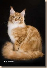 Informational site on the Maine Coon Cat, much unique content, everyone is welcome I Love Cats, Cool Cats, Kittens Cutest, Cats And Kittens, Best Cat Breeds, Cat Attack, Cat Urine, Norwegian Forest Cat, Cat Boarding