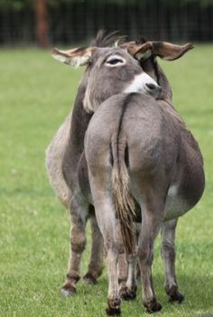 Courtesy of Hamerton Donkey Stud, Cambridgeshire (UK).