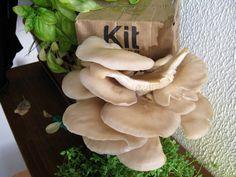 A Cogus Box é um kit de produção de cogumelos que transforma borras de café e cartão em comida saudável e deliciosa!A cogusbox é um kit de cultivo de Pleurotus ostreatusCada kit tem validade de 3 semanas após a recepção.Instruções:Retirar o saco da caixaCortar o saco em XRecortar a janela pelo picotadoColocar o saco na caixaFechar a caixaBorrifar pelo menos 2x por diaOs cogumelos aparecem dentro de 2-3 semanasColher antes da margem