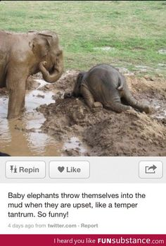 Angry baby elephant!